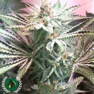 DarkHorse Seeds Genetics Galactus