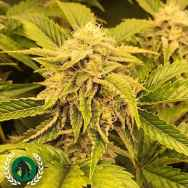 DarkHorse Genetics Seeds Ice Cream Zundae