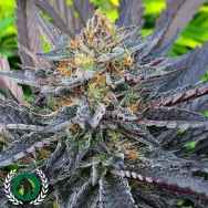 DarkHorse Genetics Seeds Lemon Drop Cookies