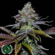 DarkHorse Genetics Seeds Lemon Twizzler