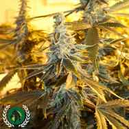 DarkHorse Genetics Seeds Orange Blossom Fizz