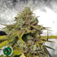 DarkHorse Genetics Seeds Power Ztone