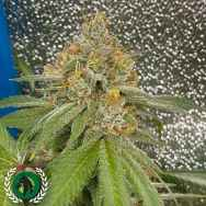 DarkHorse Genetics Seeds Space Ztone
