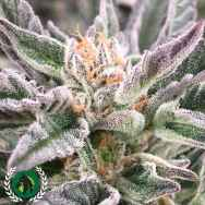 DarkHorse Genetics Seeds Stockton Slap