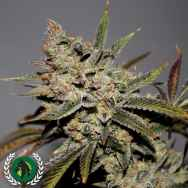 DarkHorse Genetics Seeds Strawberry Diesel F2