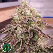 DarkHorse Genetics Seeds ThanoZ F2