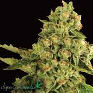 Dispensario Seeds OG Cheese