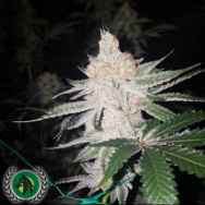 DarkHorse Genetics Seeds Double Lemon Pie