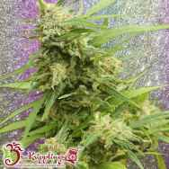 Dr. Krippling Seeds G.H.A. Turbo Diesel Auto