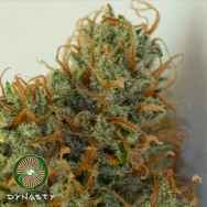 Dynasty Genetics Seeds Caramel Candy Kush