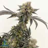 Exotic Genetix Seeds Dole Whip