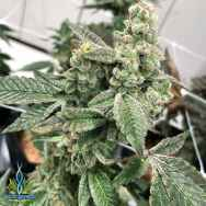 Exotic Genetix Seeds Cream N Tina