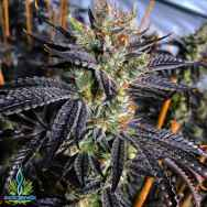 Exotic Genetix Seeds Guicy Banger