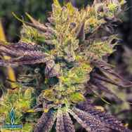 Exotic Genetix Seeds Guicy G