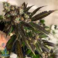 Exotic Genetix Seeds Irish Cannonball