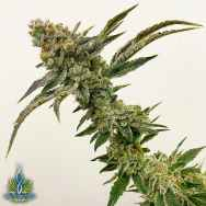 Exotic Genetix Seeds Strawberry Float