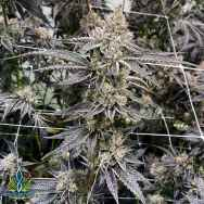 Exotic Genetix Seeds Runtz Limited Lineup Sunset Runtz