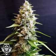 G13 Labs Cannabis Seeds | The CHOICE Seed Bank