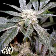 GYO by DNA Genetics EL Fuego
