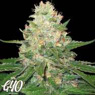 GYO by DNA Genetics RockLock