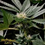 Green House Seeds GH Cheese x Sour Banana