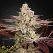 Green House Seeds Chemical Bride