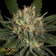 Green House Seeds Pheno Hunt Collection Super Lemon Haze x Banana Punch