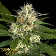 Green House Seeds Pheno Hunt Collection Super Lemon Haze x Purple Punch x Dosidos