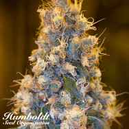 Humboldt Seed Organization Blue Fire