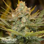 Humboldt Seed Organization Three Blue Kings