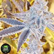 In House Genetics Platinum Dosi