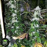 In House Genetics Platinum Gorilla