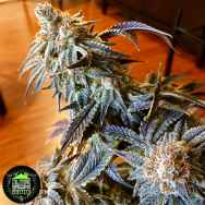 In House Genetics Triple Platinum Candy