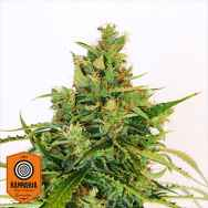 Kannabia Seeds Amnesi-K Lemon