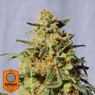 Kannabia Seeds White Domina
