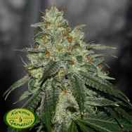 Karma Genetics Limited Seeds Di Frutti