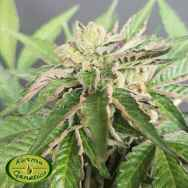Karma Genetics Limited Seeds Double Funk