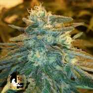 Lady Sativa Genetics Seeds Marmalade