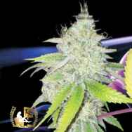 Lady Sativa Genetics Seeds Ultra Glue