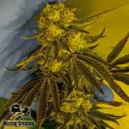 Massive Creations Seeds God Lemon