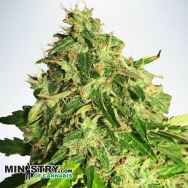 Ministry of Cannabis AUTO Cannabis Light