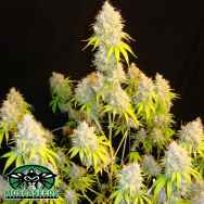 Mosca Seeds Indiana Bubblegum S1