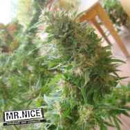 Mr Nice Seeds Angel Heart (Seeds Mango Haze x Afghan Skunk)