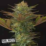 Mr Nice Seeds NL5 x Afghan