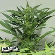 Mr Nice Seeds Nordle (Afghan Skunk)