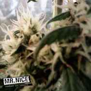Mr Nice Seeds Skunk Haze