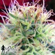 MzJill Genetics Moser Seeds Jilly Bean 2F