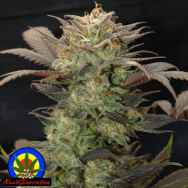 Next Generation Seeds Purple Primo