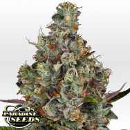 Paradise Seeds Rainbow Road