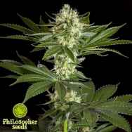 Philosopher Seeds Pure CBD Punch